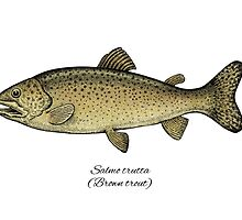 Brown trout by Eugenia Hauss