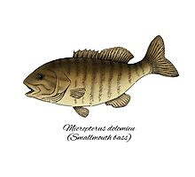 Smallmouth bass Photographic Print