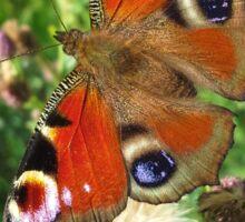 Peacock Butterfly Sticker