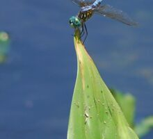 Blue dragonfly sunning Sticker