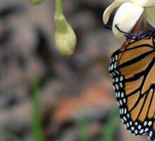 Monarch on a butterfly bush Sticker