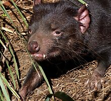 Tasmanian Devil by Margaret Saheed