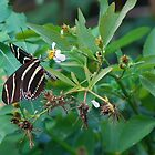 Zebra longwing on Spanish Needles by Ben Waggoner