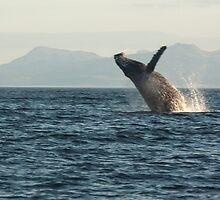 Breaching Whale by griffingphoto