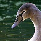 Mute Swan Cygnet by Jo Nijenhuis