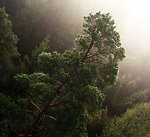 11.9.2014: Pine Tree by Petri Volanen