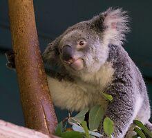 Koala Time by Jeanne Peters