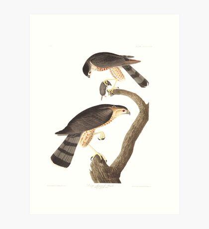 Sharp-Shinned Hawk - John James Audubon  Art Print