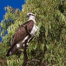Wild Osprey by mncphotography