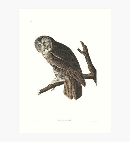 Great Gray Owl -  Art Print