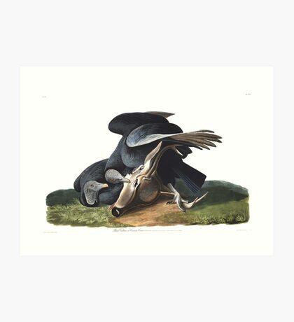 Black Vulture - John James Audubon  Art Print