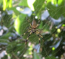 Banana Spider by edlineuser