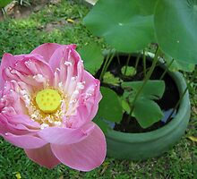 Lovely Lotus by M-EK