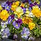 Challenge Winner in the 'Avatar/Pansies' challenge in the group 'Assorted Flowers & More' on 30 June 2015
