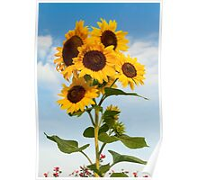 Sunflower Cluster Poster