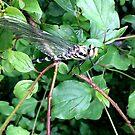 Dragonfly by Ana Belaj