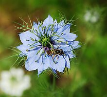 Blue Cornflower by jojobob