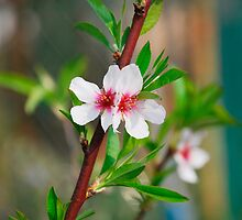 Almond Blossom by jojobob