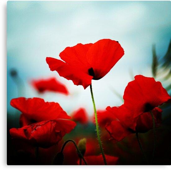 Poppy field by Murray Breingan