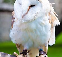 View of Barn owl sitting on falconer glove by Stanciuc
