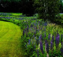 Vibrant Bend in the Lupine by Wayne King