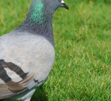 Pigeon in the grass Sticker