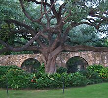 Alamo Cotton Tree - Alamo San Antonio Texas- PICTURE- CARD- PILLOW by ╰⊰✿ℒᵒᶹᵉ Bonita✿⊱╮ Lalonde✿⊱╮