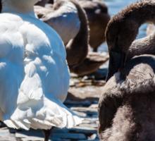 Beautiful swan familiy with nestlings in lake Sticker