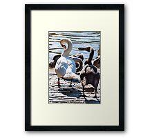 Beautiful swan familiy with nestlings in lake Framed Print