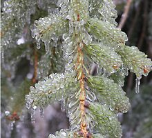 Ice Covered Pine Bough by suzyrissew