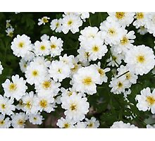 Matricia Daisies Photographic Print