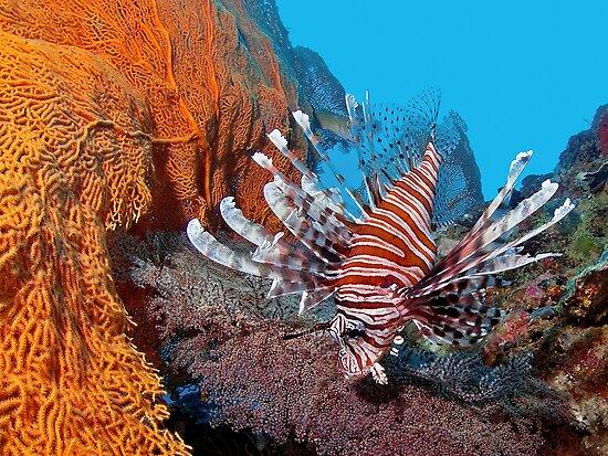 Red Lionfisch - Pazifischer Rotfeuerfisch by Henry Jager