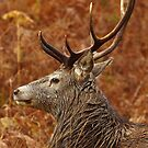 Wild Red Deer Stag. by John Cameron