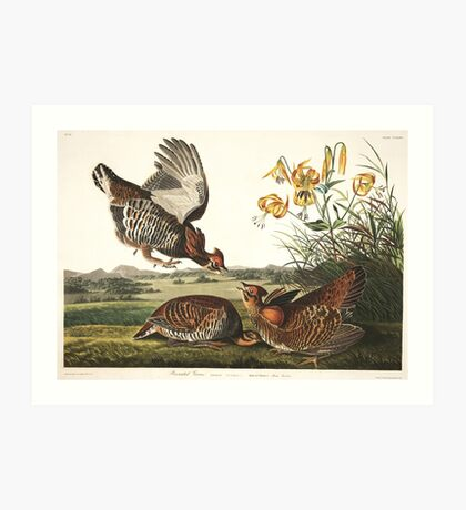 Greater Prairie-Chicken - John James Audubon Art Print