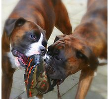 Two Dogs & One Shoe -Boxer Dogs Series- Photographic Print