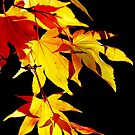 Golden Acer by Irina Chuckowree