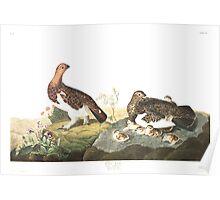Willow Ptarmigan - John James Audubon Poster