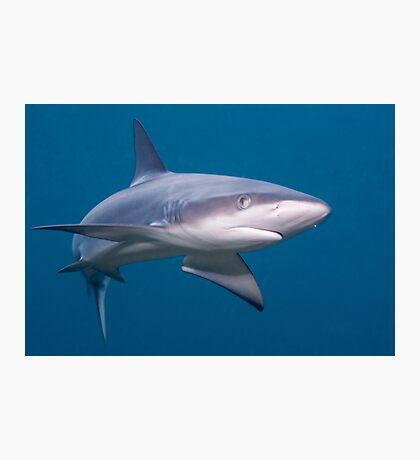 Galapagos Shark Photographic Print