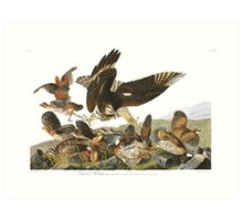 Northern Bobwhite - John James Audubon Art Print