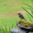 Juvenile robin by Andrew Jones