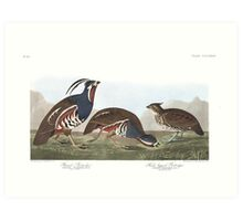 Mountain Quail - John James Audubon Art Print