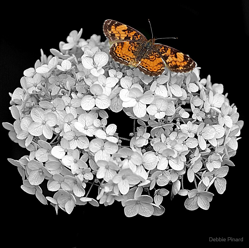 Crescent Butterfly on Hydrangea - Selective Colour by Debbie Pinard