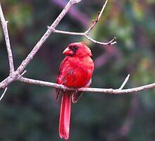 Mr. Cardinal 2 by virginian