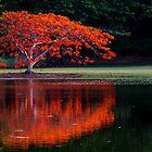 Flame Tree. Australia by Graeme Bayley