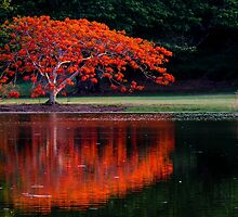 Flame Tree. Australia by Graeme Bayley