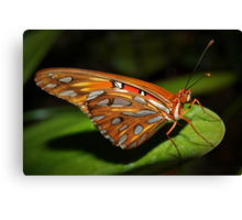 Gorgeous wings Canvas Print