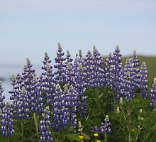 Lupine Flowers on a Cliffside by griffingphoto
