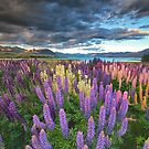 Lupins at Lake Tekapo by Images Abound | Neil Protheroe
