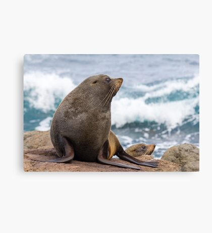 Furseals By The Sea Canvas Print
