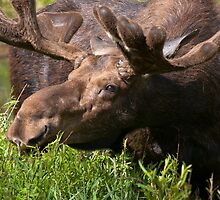 Bull Moose by David Kocherhans